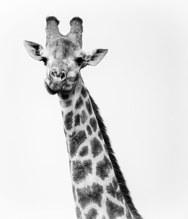 Single Giraffe looking directly at camera while chewing.  High contrast black and white Stock Photo - 87864458