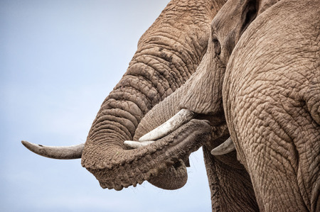 Two friendly male elephants greet each other by entwining trunks Imagens