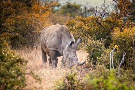 Lone male white rhino feeding in the South African bush Imagens