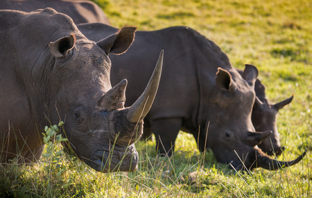 Two male white rhino and a juvenile feeding in the South African grasslands