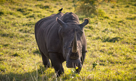 Lone male white rhino approaching camera in the South African bush with tickbird