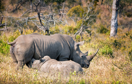 White rhino calf being fed by its mother in the wild. South Africa