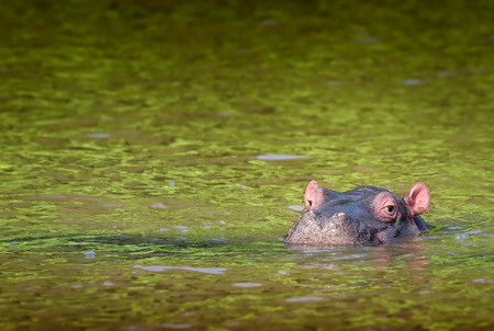 Happy-looking cute hippo calf swimming in green water. St. Lucia, South Africa