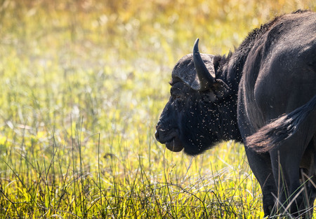 Detailed closeup of a lone water buffalo being pestered by flies / insects. Swaziland Stock Photo - 88100867