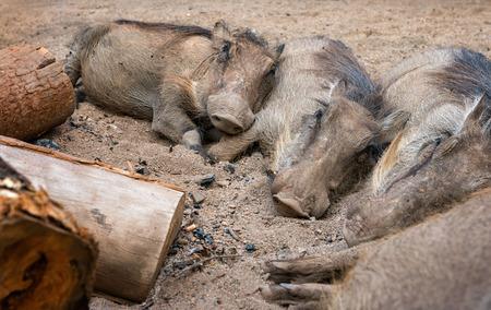 Four wild warthogs keep warm sleeping around an open campfire. Swaziland
