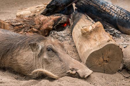 Wild warthog keeps warm sleeping next to an open campfire. Swaziland