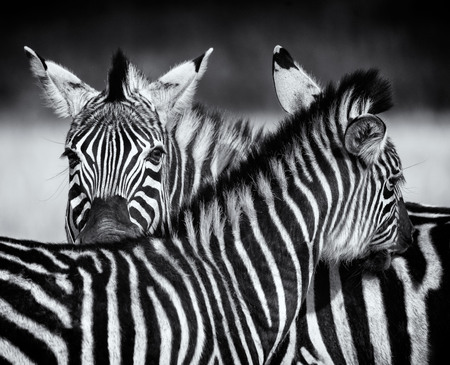 Closeup of two zebra grooming each other in black and white. Swaziland