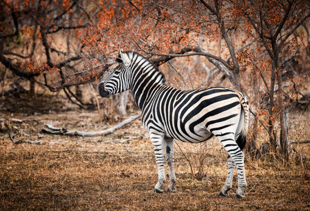 Lone Zebra in profile standing amongst fire-scorched trees. Kruger National Park, South Africa Stock Photo - 88100875