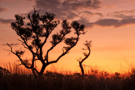 Silhouette of tree in Australlian Outback at dusk (Northern Territory)