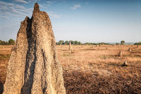 Termite mound at dawn (Nasutitermes triodae), Kakadu National Park, Australia
