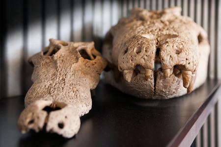 Australian saltwater crocodile skulls with sharp teeth close up