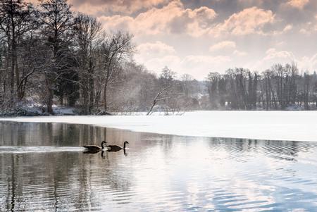 Pair of geese on a frozen woodland lake as it begins to thaw. Sevenoaks, Kent, England Stock Photo - 97040455