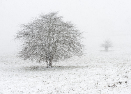 Two trees in a field during heavy snow
