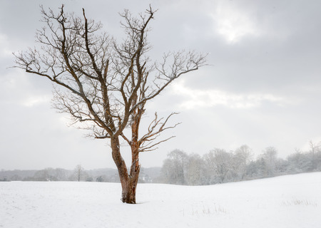 Bare tree in a field during heavy snow Stock Photo - 97052355
