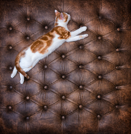 Looking down at cute red kitten sleeping on a luxurious buttoned leather ottoman Stock Photo - 98640407