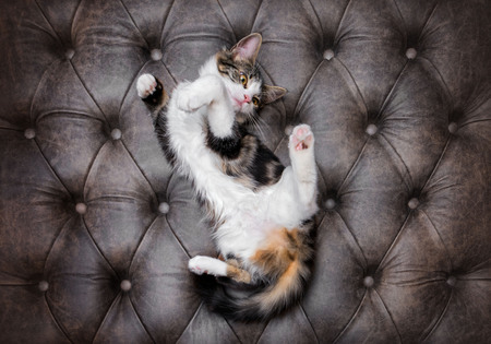 Looking down at playful fluffy kitten on a luxurious leather buttoned ottoman