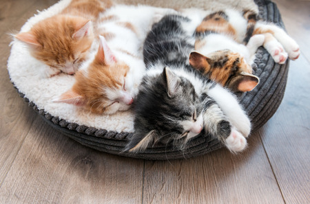 Looking down at four fluffy kittens sleeping in a white bed Stock Photo - 98640409