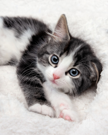 Closeup of sleepy kitten with blue eyes in a fluffy bed Stock Photo - 98786563