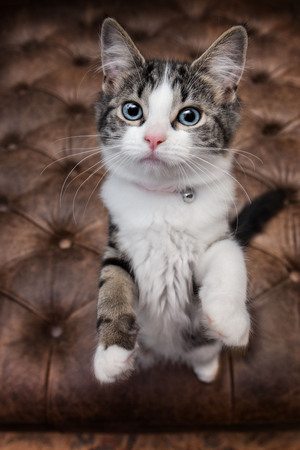 Closeup of cute kitten with big blue eyes standing on hind le Stock Photo - 98922459
