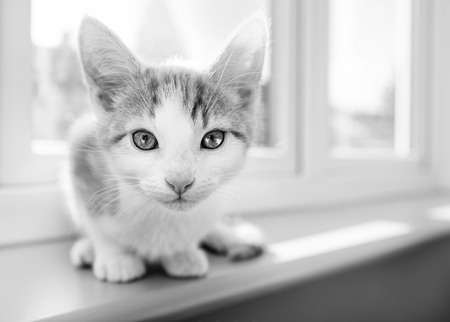 Curious young kitten on a windowsill looking directly at camera in black and white Stock Photo - 98898037