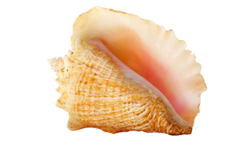 Conch shell on white background