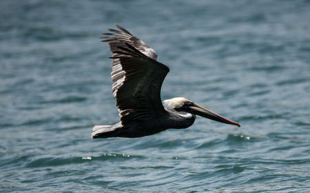 pelikan: Big bird Pelican flying over the sea Stock Photo