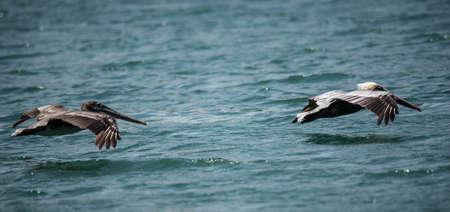pelikan: Big birds Pelicans flying over the sea
