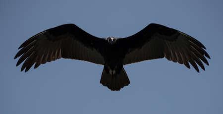 turkey vulture: Turkey vulture flying