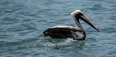 bid: Haga una oferta pelícano de aves que se sientan en el mar Foto de archivo