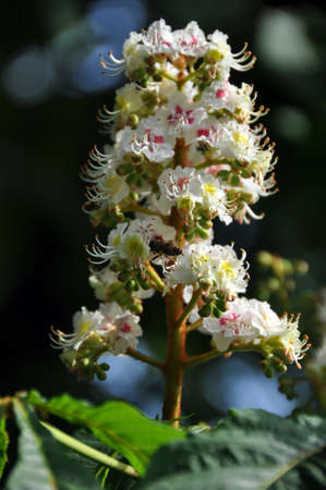 umbel: Closeup of white chestnut blossom (umbel) with a bee visiting and collecting honey. Leaves  and blue sky in the background. Stock Photo