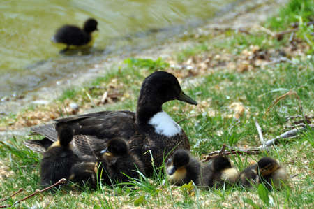 Mother duck guarding her ducklings at the shore of a lake, one duckling swimming   photo