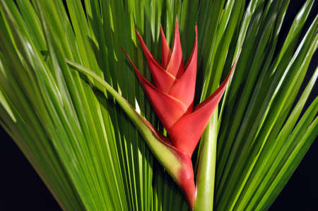 bloom bird of paradise: Red Heliconia Caribea flower with tropical palm leaf