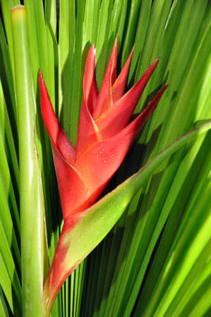 bloom bird of paradise: Red Heliconia Caribea flower with tropical palm leaf Stock Photo