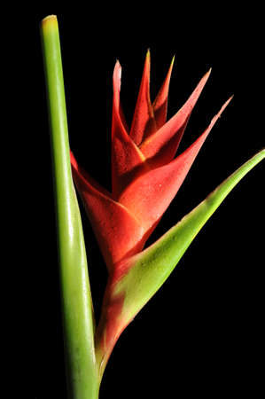 Red Heliconia Caribea flower with water droplets  isolated on black background