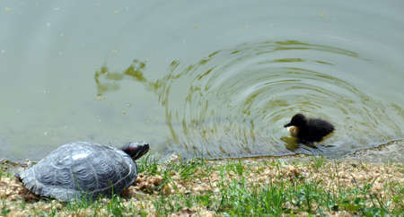 dozing: Small duckling swimming towards green sea turtle dozing in the sun at the shore of a lake - nice symbol of friendship or making friends Stock Photo