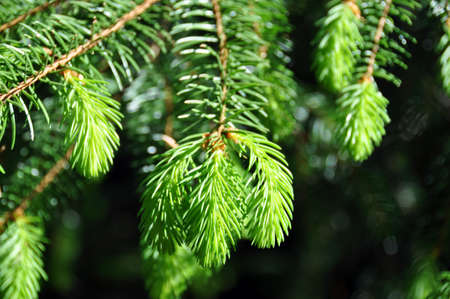fir twig: Fir twig with new bright green endings in spring Stock Photo