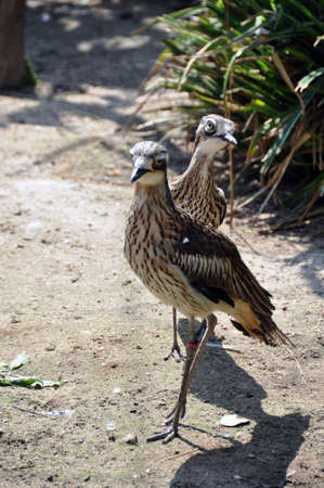 Australian wildlife: curlew pair (bush thick knees) with wallaby in the background Stock Photo