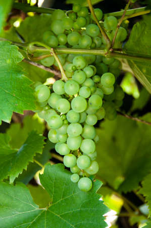 sauternes: wine(34).jpg