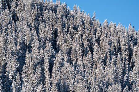 piste: snow covered pine trees against blue sky in Montafon, Austria