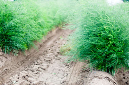 Blossoming Asparagus at a field in summer photo
