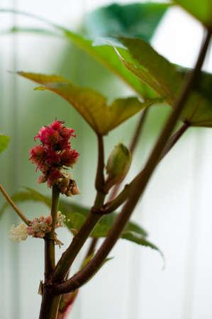 castor: Castor oil plant (Ricinus Communis) leaves and seeds. Source of Ricin poison. Stock Photo