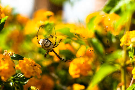 argiope: A close up of the Argiope lobata spider on yellow flowers - female, approx. 25mm large Stock Photo
