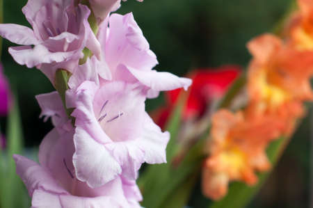 Gladiolus bouquet Stock Photo