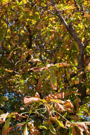 Cchestnut tree in autumn Stock Photo - 16184713