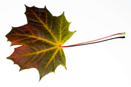 greatly: Greatly coloured autumn maple leaf on a white background Stock Photo
