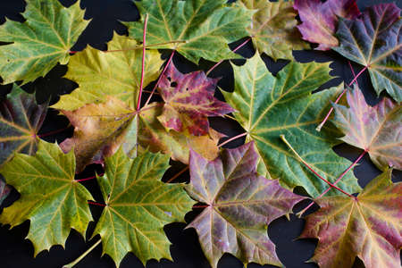 greatly: Greatly coloured autumn maple leaves on a dark background