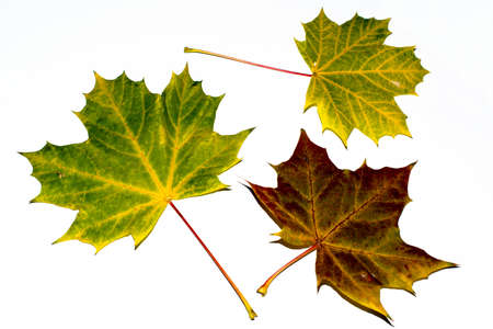 greatly: Three greatly coloured autumn maple leaves on a white background