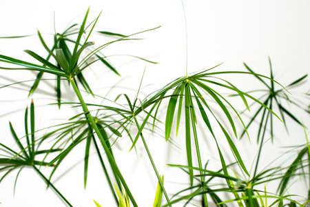 Blätter einer Graspflanze auf weißem Hintergrund Standard-Bild - 18776617