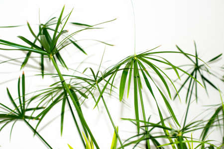 Leaves of a grass plant on a white background
