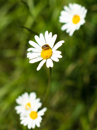 Chamomile flowers and bee photo